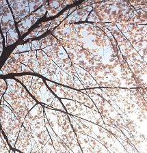 祇園 白川の桜