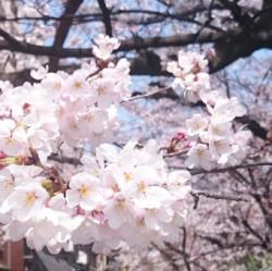 京都 木屋町 桜
