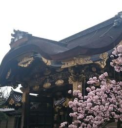 京都 二条城の桜
