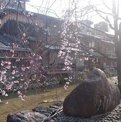 京都の桜 祇園 白川