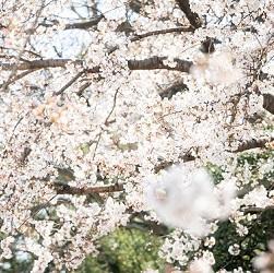 桜のシーズン 京都前撮り